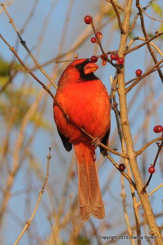 SS3_2020 Cardinal