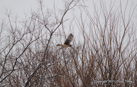 Northern Harrier-Disposal Rd.   1-9-11
