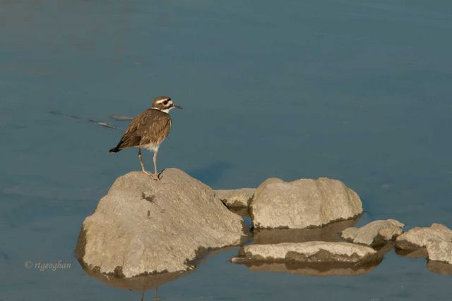 Killdeer-DeKortePark_Feb26_ReginaGeoghan_9732