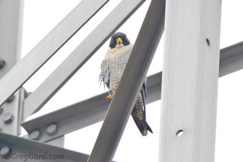 Peregrine-Falcon-20110101-Greg-Gard-1