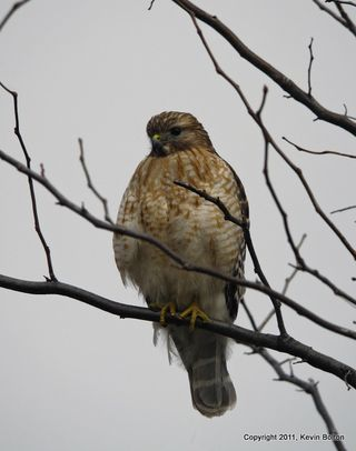 IMG_3415Red Shoulderd Hawk1
