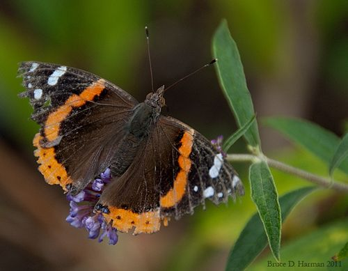Red-Admiral-2011_07_23a