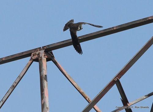 Peregrine Falcon 3-1