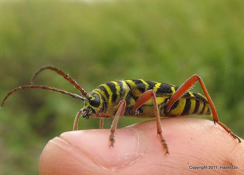 Megacyllene robiniae (Locust Borer) - Flickr - Photo Sharing! 2011-09-07 11-43-8