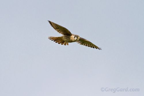 American kestrel-_MG_6851-1