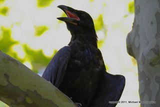 Raven Close-up-1