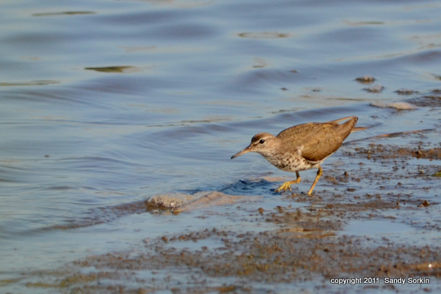 SS7_0366 Spotted Sandpiper-1