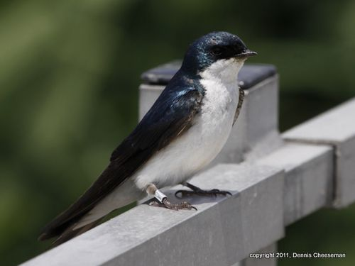 Cheeseman banded swallow