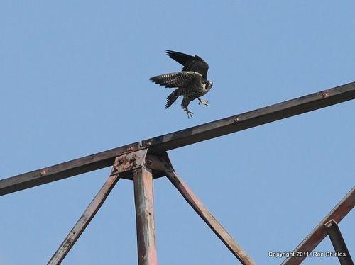 Peregrine Falcon 2-1
