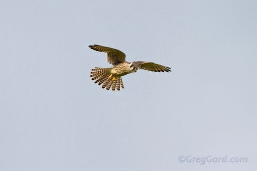 American kestrel-_MG_6843-1