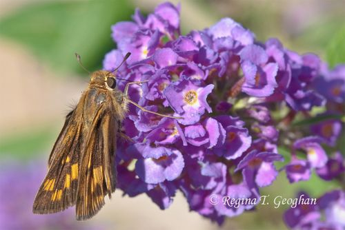 Oct 17_Butterfly Skipper_ReginaGeoghan_0037SM-1