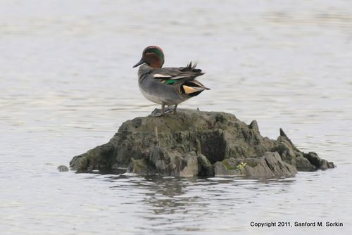 SS3_1524 Green-winged Teal (Eur)-1