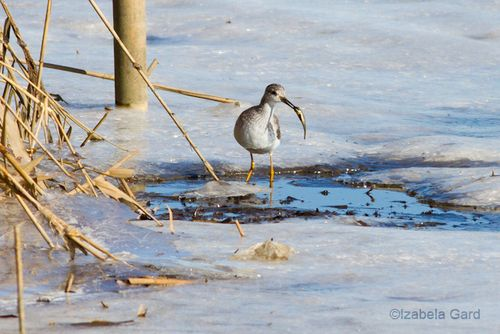 Greater-Yellowlegs_MG_7183