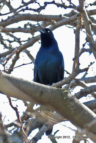 BT Grackle 3