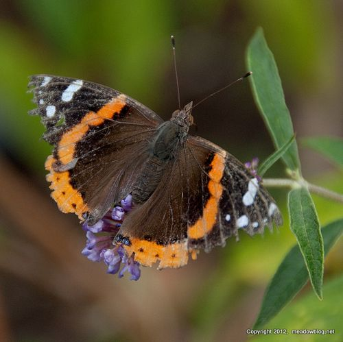 Red admiral high res