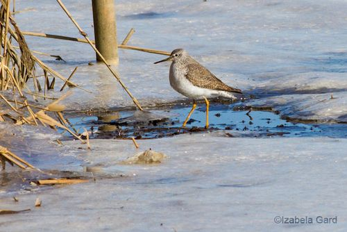 Greater-Yellowlegs_MG_7218