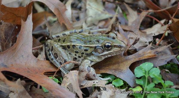 NY Times Frog