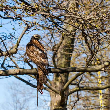 Hawk--0203-2