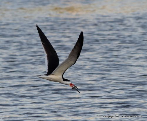 Black Skimmer with snack1
