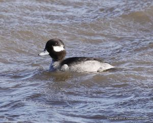 Bufflehead female-1