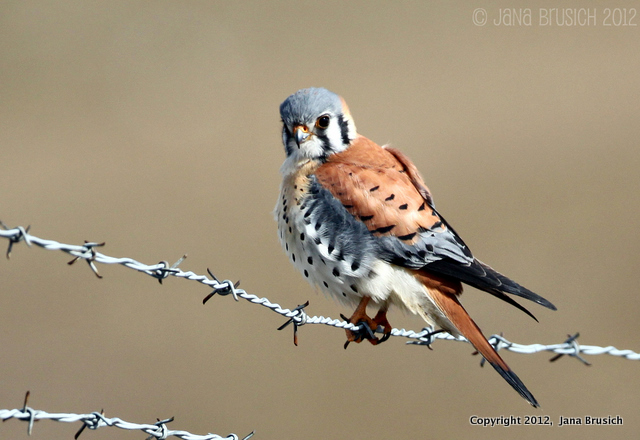 North American Kestrel-1