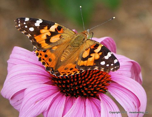 Painted Lady_0051