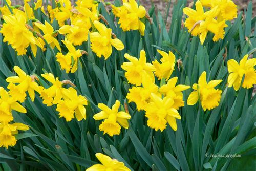 April 1_Daffodils DeKorte Park_ReginaGeoghan_0753-002