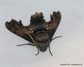 Moth JW NJMC