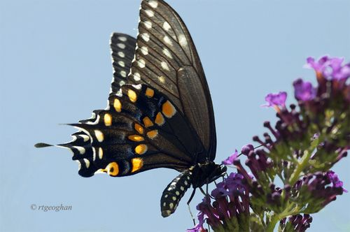 July 10_Butterfly Black SwallowtailSM_RTGeoghan_0362