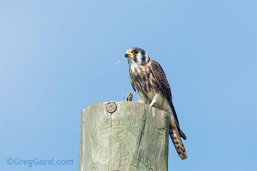 American-kestrel-Falco-sparverius-greg-gard-20120822-_B4A4701-2 copy