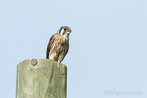 American-kestrel-Falco-sparverius-greg-gard-20120822-_MG_9594 copy