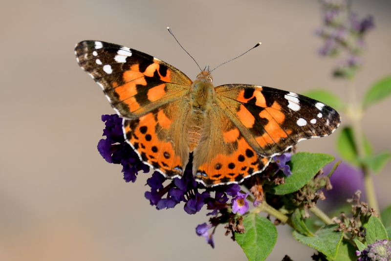 SS8_4790 Painted Lady