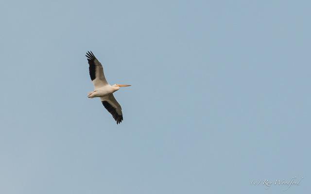 Roy pelican