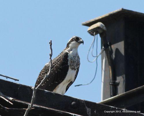 1-Baby osprey jw