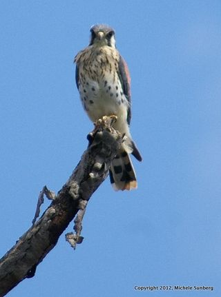Cropped Kestrel From Pontoon Ride, Carlstadt, Aug. 28, 2012
