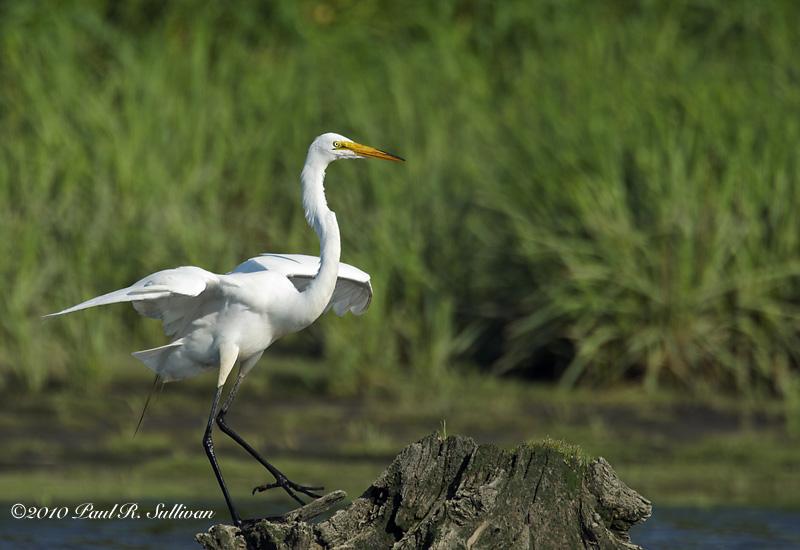 Great Egret(Ardea alba) with its wings wide open on a cedar stump @ Mill Creek Marsh, Secaucus, N.J.