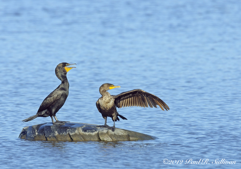 Double-created cormorants(Phalacrocorax auritus)(2) one pointing with it's open wing on a tire floating in Teal Pool @ Richard