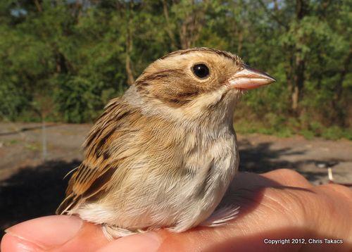 2-Clay colored sparrow hm