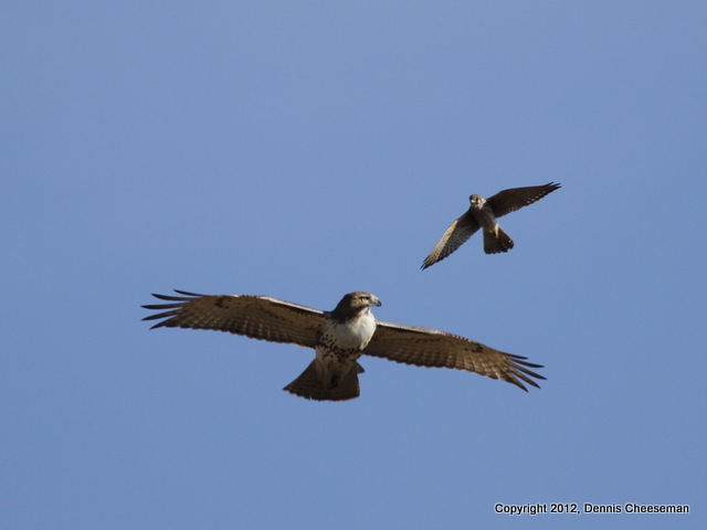 Kestral after a hawk 2