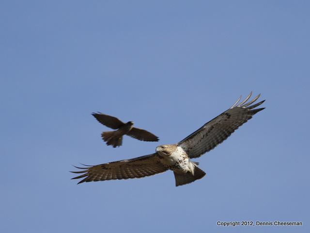 Kestral after a hawk 3