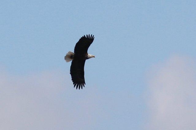 Bald Eagle-001