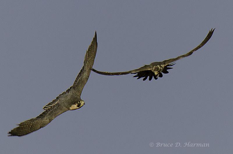 Peregrine falcons_pair