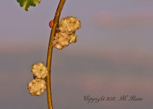 F Mulberry White 001c2EB MCM Mdwlnds NJ 7x5h 060212 OK BLOG