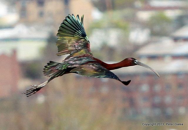 Ibis bird IMG_7015