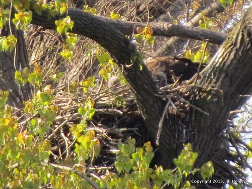 Two eaglets