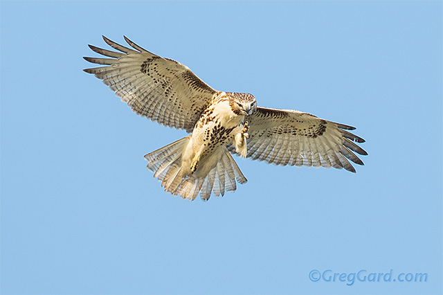 Red-tailed-hawk-Buteo-jamaicensis-dekorte-greg-gard-20120925-_B4A7328 copy
