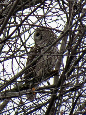 Barred Owl Losen