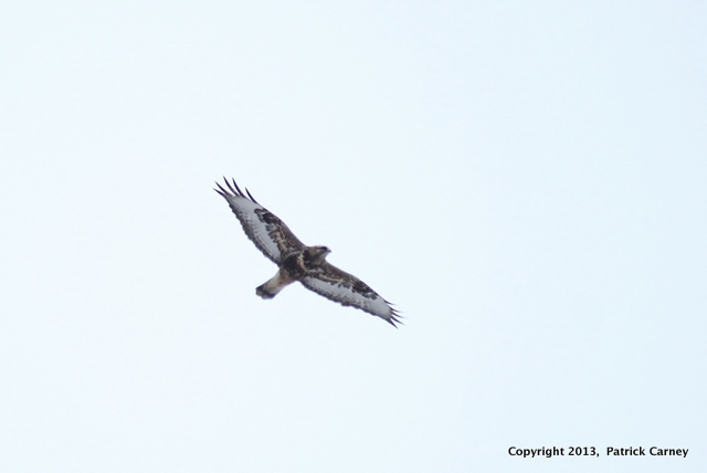 Rough-Legged Hawk(1)