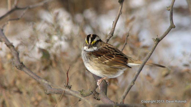 3-White Throated Sparrow 1-18-011