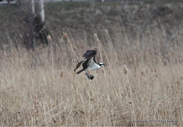 Sanford osprey1_5387